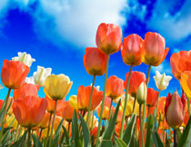 蓝天白云与郁金香摄影高清图片