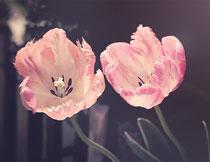 两朵绽放的郁金香特写高清图片