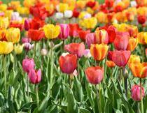 植物园郁金香鲜花摄影高清图片
