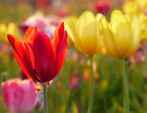 花期绽放的郁金香特写高清图片