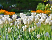 白色的郁金香花丛摄影高清图片