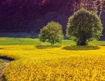 大树与金灿灿农田摄影高清图片