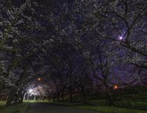 公园微弱灯光下的樱花高清图片