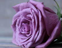 紫色的玫瑰花特写摄影高清图片