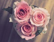 花盆里的三朵玫瑰摄影高清图片
