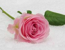 雪地上的粉色玫瑰花朵高清图片