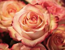 花期绽放的玫瑰花摄影高清图片