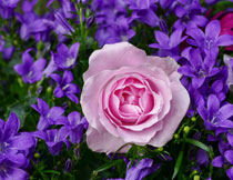 紫色花丛中的玫瑰摄影高清图片