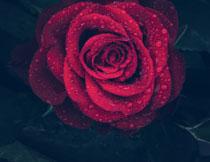 挂着水珠的玫瑰花摄影高清图片