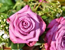 绽放的玫瑰花特写摄影高清图片