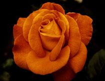 玫瑰花卉植物特写摄影高清图片