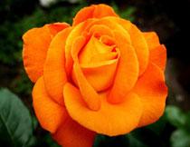 绿叶烘托的玫瑰花摄影高清图片