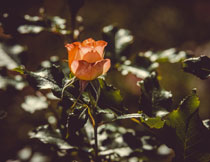 开花玫瑰花卉植物摄影高清图片