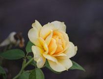 开出黄花的玫瑰花摄影高清图片