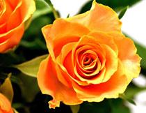 黄色的玫瑰花特写摄影高清图片