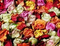 紧密排列的多种玫瑰花高清图片