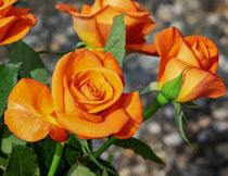 盛开的玫瑰花特写摄影高清图片
