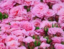 粉红色的花丛植物摄影高清图片