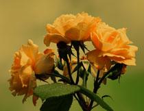 表面有水珠的玫瑰摄影高清图片
