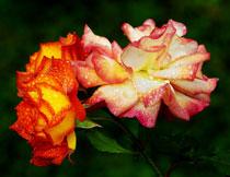 水珠点缀的玫瑰花摄影高清图片