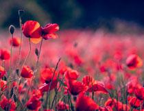 遍地开花的红色花摄影高清图片