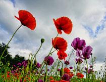 蓝天白云花卉植物摄影高清图片