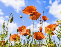 花期绽放的罂粟花摄影高清图片
