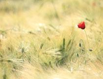 麦芒中的一棵红花摄影高清图片