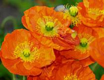 大朵的罂粟花特写摄影高清图片