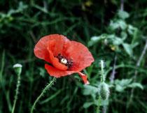 傲立草丛中的红花摄影高清图片