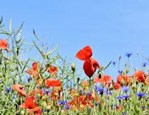 蓝天下的花草风光摄影高清图片