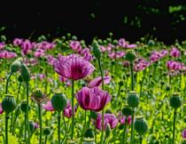 紫色鲜花植物风景摄影高清图片