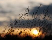 黄昏夕阳下的植物摄影高清图片
