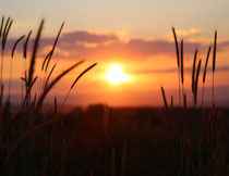 黄昏阳光下的小麦摄影高清图片